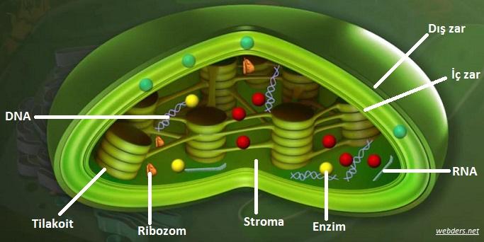 Enerji  Dönüşümleri (Fotosentez ve Solunum)